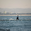 Moss Landing in the background.<br /> <br /> So far, the interaction between Humpbacks and Sea lions has only been documented in the Monterey Bay area.