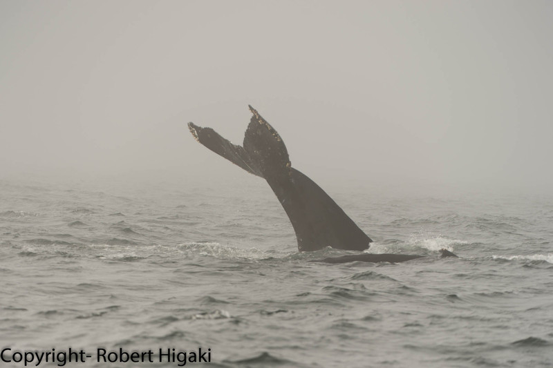 Tail lobbying: the Humpback is 'standing' on its head and waving the tail then slamming the fin against the water.