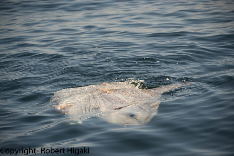 Mola mola- sun fish<br /> This is very weird looking fish; it looks like a giant fishhead with fins and no body. So, here he is floating on the surface sideways.