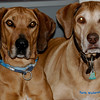 That my dogs (2 of three) Indy and Dante my Ridgebacks