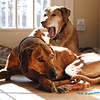 Indy next to the 'Old man of the house' Dante our 12 year old Ridgeback.