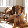 This is Indy with My older Ridgeback Dante Sleeping behind him. We adopted him this year.