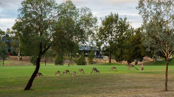 Kangaroos playing some golf