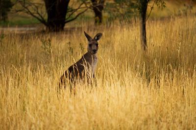 Kangaroo in the tall grass