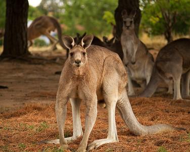 Big male Kangaroo