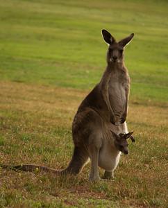 Kangaroo and and her Joey