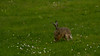 Kanin (Rabbit) - Solna