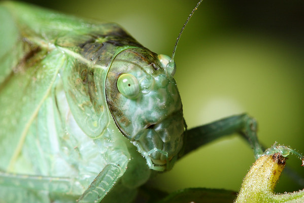 A greater angle-winged katydid (Microcentrum rhombifolium).