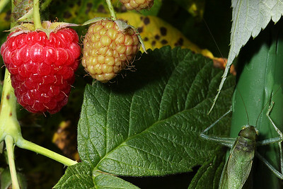A greater angle-winged katydid (Microcentrum rhombifolium) climbs next to a pair of young raspberries.