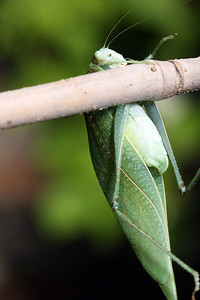A greater angle-winged katydid (Microcentrum rhombifolium) hangs awkwardly from a stick.