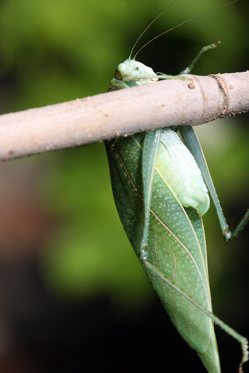 A greater angle-winged katydid (<i>Microcentrum rhombifolium</i>) hangs awkwardly from a stick.