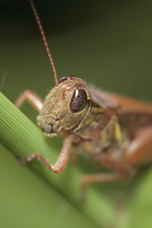 A spur-throated grasshopper clings to a flower stem.