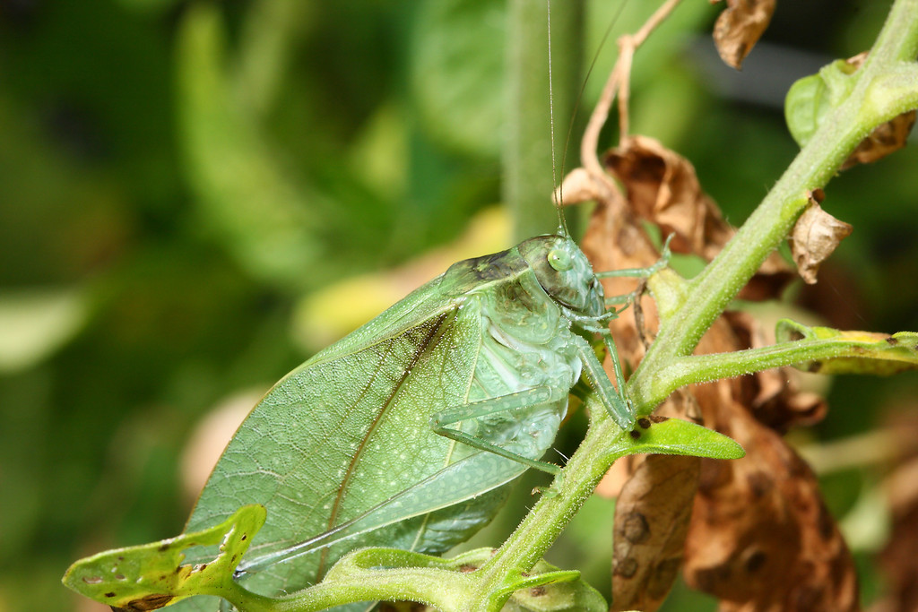 A greater angle-winged katydid (<i>Microcentrum rhombifolium</i>).