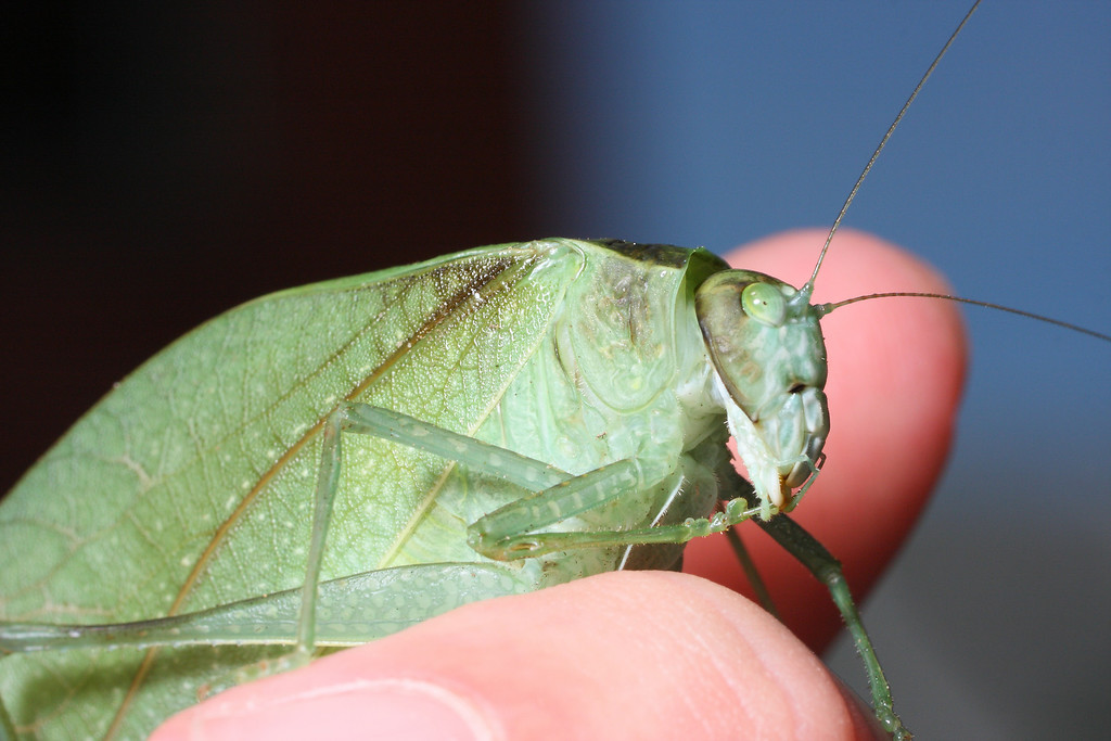 A greater angle-winged katydid (<i>Microcentrum rhombifolium</i>) rests on my fingers.