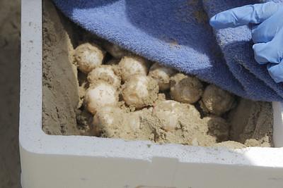 Kemp Ripley turtle egg harvest, May 2013