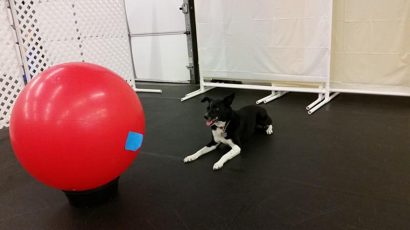 Kenda likes Treibball