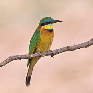 Bee Eater, Cinnamon Chested
