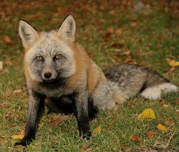 Ketchum Fox