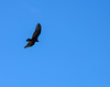 Random turkey vulture in the Florida Keys