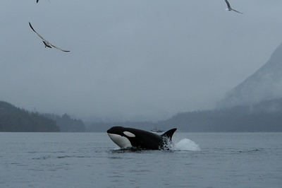 DSC_9991 - Member of the T55s transient (mammal-eating) killer whales when sighted on May 2nd, 2010.