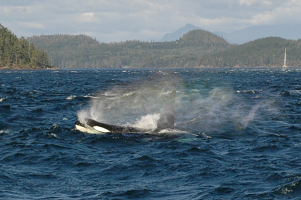 Rainblow! The spectrum of light in a whale's blow. Mature male Northern Resident orca. Believe it is I42 of the I11s matriline.