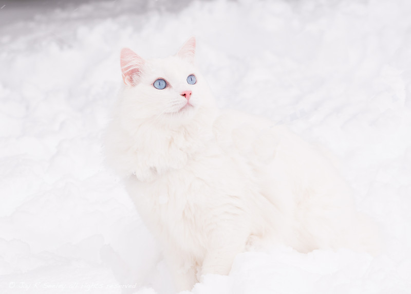 Blue eyes in the snow.  This is what happens when you take a white cat out to play in the snow.