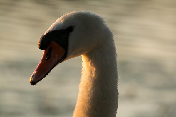 Knölsvan (Mute swan)