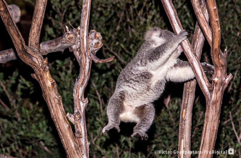 Yes! Koalas can jump!