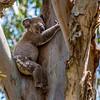 Local Resident Koala