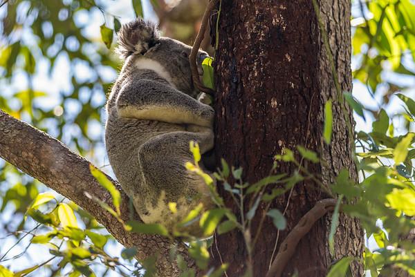 Kangaroos & Koalas