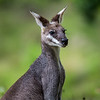 Pretty-Faced or Whiptail Wallaby