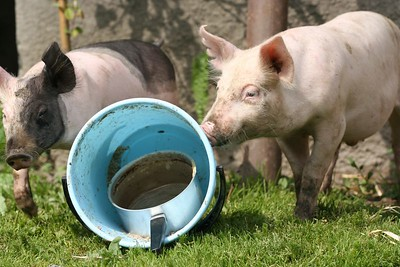 Koduloomad - Domestic Animals