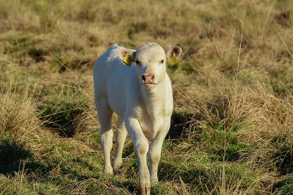 Kor, Cows (Bos Taurus)
