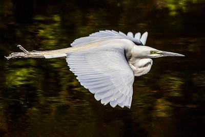 Kotuku in flight