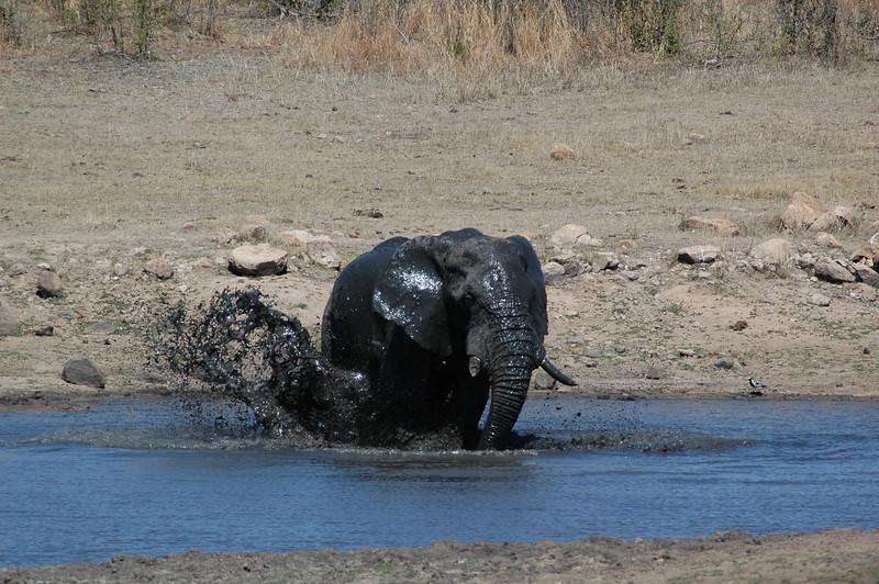 Elephant having a bath and kicking up mud!