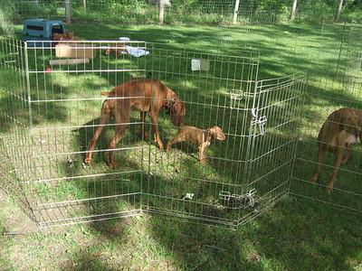 Kyra Regis puppies 6 weeks old