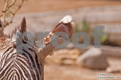 Zebra Ear
