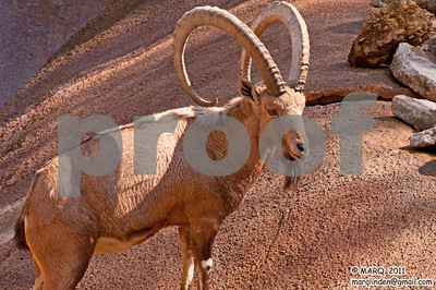 Big Horn Sheep #2