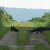 American Alligator and Turkey Vultures