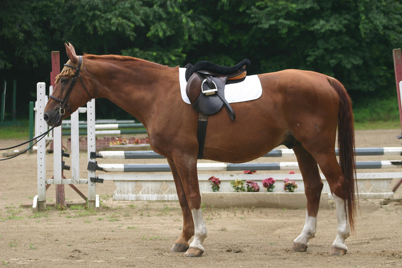 a good horse to learn elementary dressage with.  He had to be put down a couple of years later after a colic attack