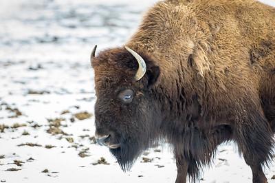 LI Buffalo