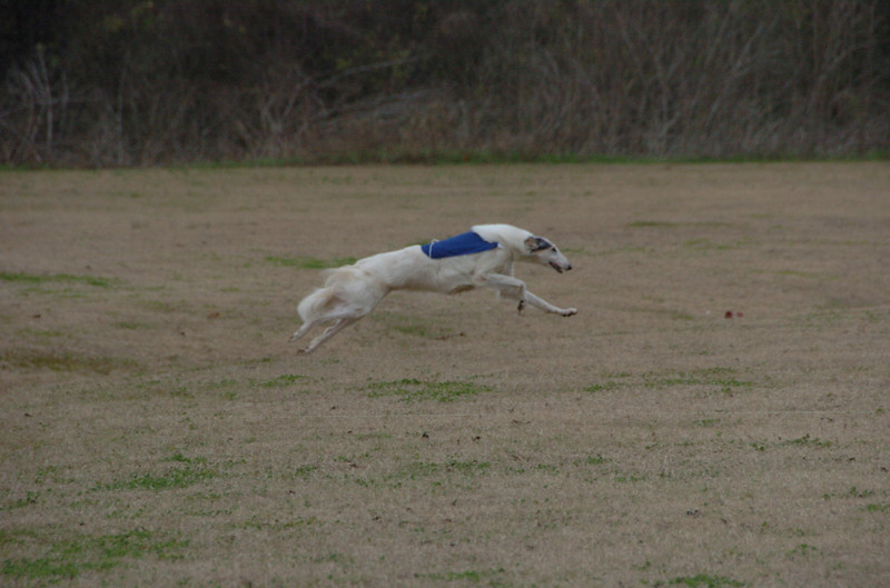 Laci earned 2 more legs towards an Senior Coursing title at the Afghan Hound Club of Houston December Trials 12/07 in Richmond, Texas. (Photo by Shot on Site)