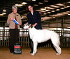 Laci completed her American Championship with a bang by being awarded Best of Winners for a 4 point major (her 3rd major) under judge Jane Treiber at Nolan River KC in January of 08. Laci was completely owner-handled by Veni to all her points in the U.S. and to her Canadian title, Specialty BOB, National Award of Merit, and Group placement by co-owner Cherie. She is now Am. Can. Ch. Elance Mystic Risque Blue, JC!