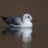 Brown-headed Gull - Pangong Tso