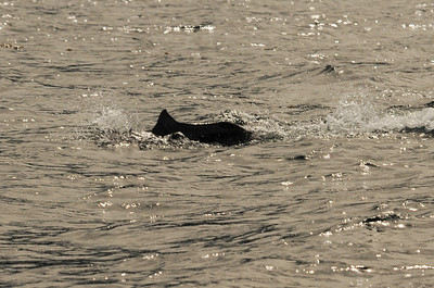 DSC_6166 - Dalls porpoise calf.
