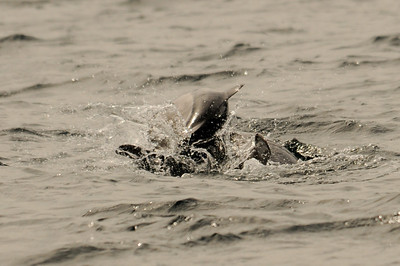 DSC_6278 - One of the two dolphins pushing down the Dalls porpoise calf.