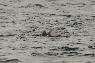 DSC_6318 - Dalls porpoise calf on the outside of dolphin#2.