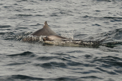 DSC_6262 - Dalls calf further out of the water here, note the scratch on its left flank. Dolphin#2 to the right.