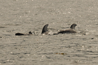 DSC_6187 - Dalls porpoise calf in front of the two Pacific white-sided dolphins.
