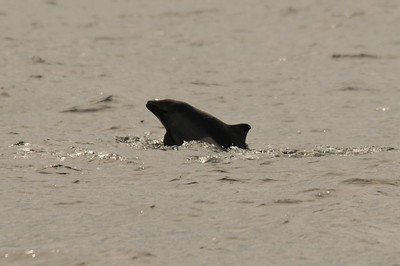 DSC_6292 - Dalls porpoise calf.